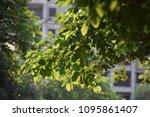 sunshine fresh green leaves ... | Shutterstock . vector #1095861407