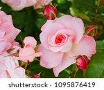 Stock photo roses like strawberries 1095876419