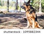 dog german shepherd in the... | Shutterstock . vector #1095882344