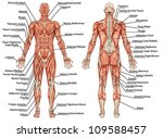 anatomy of male muscular system ... | Shutterstock .eps vector #109588457