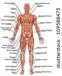 Anatomy Of Man Muscular System...