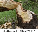 beavers build their dam on a... | Shutterstock . vector #1095891437