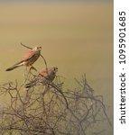 lesser kestrel bird   Shutterstock . vector #1095901685