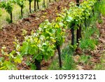 Small photo of Vines flourish under the sun, leaves and tendrils showing new growth, rows of grapevines contrast against tilled dirt between every other row in this Oregon vineyard.
