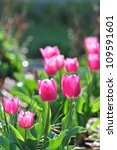 Sunlit Pink Tulip Flowers In A...
