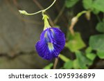 butterfly pea  clitoria... | Shutterstock . vector #1095936899
