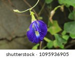 butterfly pea  clitoria... | Shutterstock . vector #1095936905
