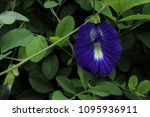 butterfly pea  clitoria... | Shutterstock . vector #1095936911