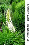 Small photo of Beautiful white flower of gooseneck loosestrife (Lysimachia clethroides), Primulaceae