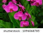 beautiful orchid flower in... | Shutterstock . vector #1096068785