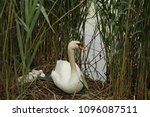 Small photo of Swan with brood in bushes in a park with a pond.