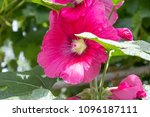 mallow flowers close up in the... | Shutterstock . vector #1096187111