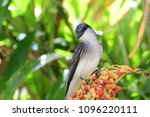 Portrait of a tropical mocking bird perching on some berries in a tree