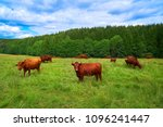 brown cow cattle in harz forest ... | Shutterstock . vector #1096241447
