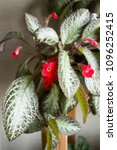 Small photo of Plant Episode with ampel stems and beautiful shiny leaves blooms red in the interior