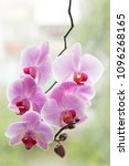 Small photo of purple Orchid. blooming Orchid. Orchid background