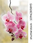Small photo of pink Orchid. blooming Orchid. background blooming Orchid
