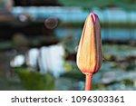 pink lotus flower does not... | Shutterstock . vector #1096303361