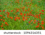 Small photo of The blossoming field with gentle red beautiful wild poppies in the steppe near Almaty and Tian Sham mountain.