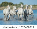 White Stallions Running Throug...