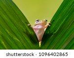 Dumpy frog on leaves  frog ...