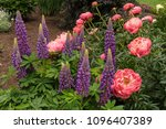 purple  blue lupine and pink... | Shutterstock . vector #1096407389