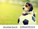 Cute Little Beagle Playing...