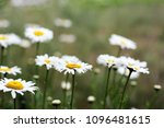camomiles close up. flowers   Shutterstock . vector #1096481615