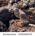 the lava heron.gal pagos heron... | Shutterstock . vector #1096483415