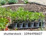 young green seedlings plants... | Shutterstock . vector #1096498607