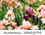 beautiful irises in the garden. ...   Shutterstock . vector #1096510799