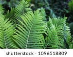 a plant in the garden. leaves...   Shutterstock . vector #1096518809