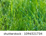 Fresh Green Grass With Dew