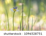 Small photo of butterfly Hesperiidae in the morning grass on a daisy, colorful spring natural background