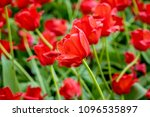 tulips in the park in st.... | Shutterstock . vector #1096535897