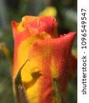 Firey Orange Yellow Rosebud