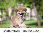 Stock photo little puppy akita 1096552655