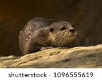 asian small clawed otter  aonyx ... | Shutterstock . vector #1096555619