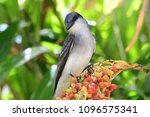 Portrait of a tropical mockingbird perched on some berries in a tree
