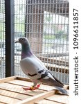 speed racing pigeon in home loft | Shutterstock . vector #1096611857