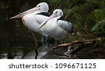 Pelican Resting   Couple Of...