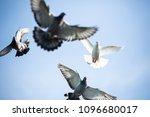 flock of homing pigeon bird... | Shutterstock . vector #1096680017