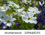 Closeup White Cosmos Flower In...