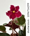 Small photo of African violet plant variety Emergency with white and red fresh beautiful flowers