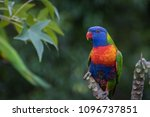 Rainbow Lorikeet Parrot Perche...