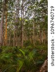 Small photo of Boranup Kirra forest towering karri native gumtrees Margaret river region western Australia