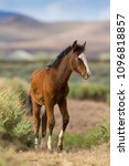 young filly mustang paint horse ... | Shutterstock . vector #1096818857