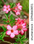 Small photo of azalea flowers impala lily or desert rose or mock azalea beautiful white & pink flower and green Adenium multiflorum leaf in the garden