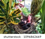 hungry baby birds | Shutterstock . vector #1096862669