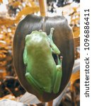 Small photo of dumpy frogs, dumpy tree frogs on leaves